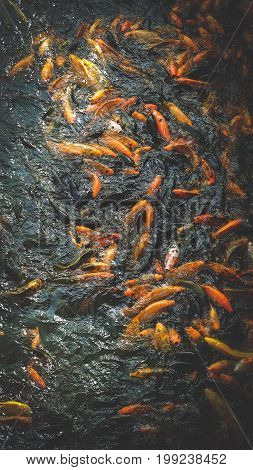 Many Colorful Carps Are Eating in Lake