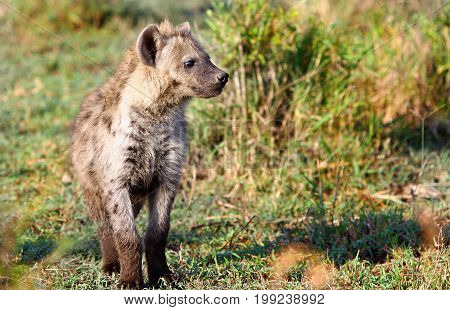 An adolescent Spotted Hyena standing on the African Plains looking at something in the distance 0 Msai Mara National Park Kenya