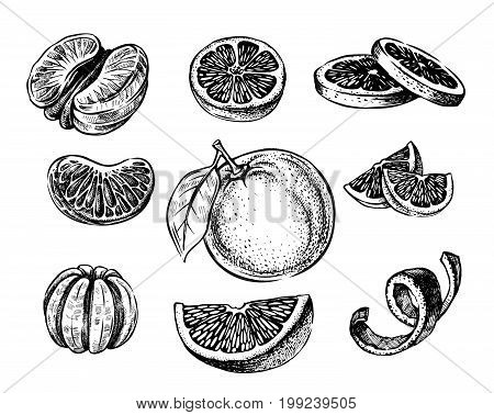 Vector oranges and tangerine hand drawn sketch on white
