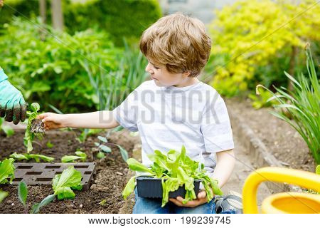 Cute little preschool kid boy and mother planting green salad in spring. Close-up of hand of adult and child having fun together with gardening. Kid helping in domestic vegetable garden