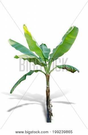 Banana tree isolated on white background. File contains a clipping path.