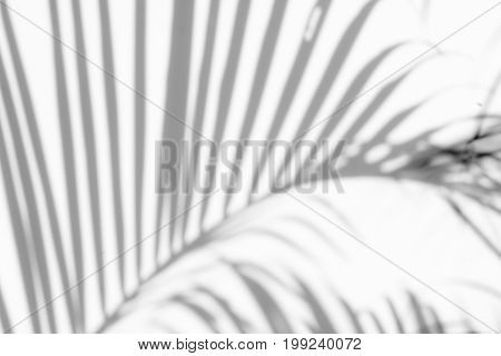 abstract background of shadows palm leaves on a white wall. White and Black