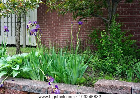 Purple German irises (Iris germanica) bloom in an elevated flower garden outside of the Kirtland Terrace in Cadillac, Michigan, during May.