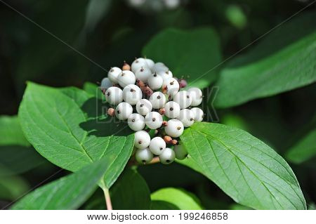 Symphoricarpos albus Blake (snowberry) shrub with berries