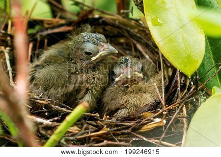 Two eight day old baby cardinal chicks looking directly at the camera as if they are saying goodbye because it is their last day in the nest.