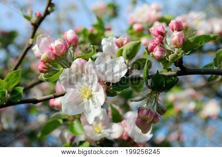 Flowers of an apple tree. Shallow depth of field. Focus on the front flowers.