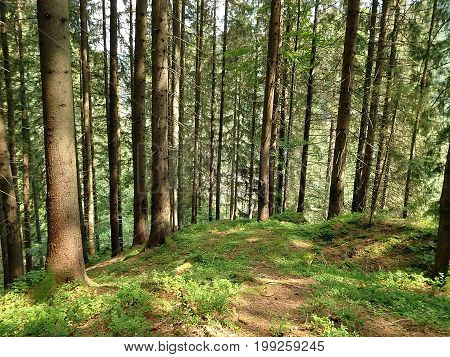 Beautiful view of a coniferous forest ,