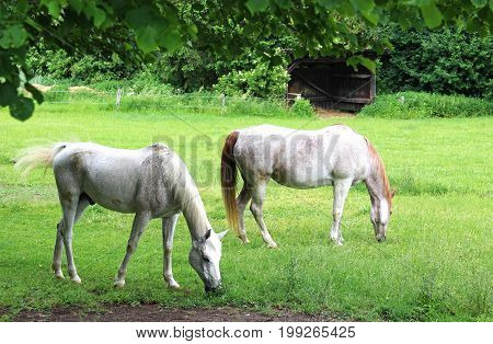 two beautiful white Arabian horses on a paddock mares grazing