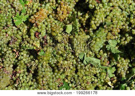 Wine harvest, fresh wine grapes in winery