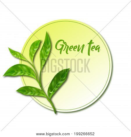 Realistic leaves of green tea. Vector 3d illustration on white background.