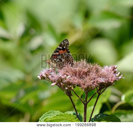 A butterfly, an American Painted Lady (Vanessa virginiensis) gathering nectar on a cluster of flowers in Chocorua, New Hampshire, USA.[