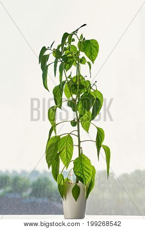 Green Sprout Of Pepper