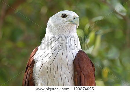 Brahminy Kite Haliastur Indus Beautiful Birds Of Thailand