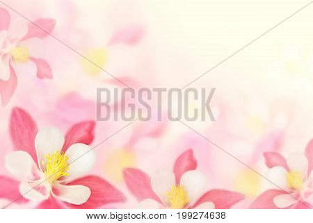 Background with a beautiful pink flowers aquilegia