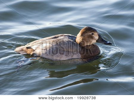 Pochard Duck Female