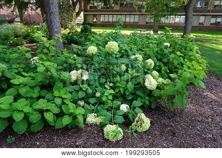 The showy flowers of the Annabelle hydrangea (Hydrangea arborescens) bloom in a flower garden in Joliet, Illinois during July.