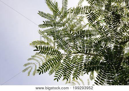 fresh green Leucaena leucocephala plant in nature garden