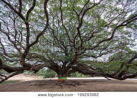 Giant Tree with branch in Kanchanaburi Thailand