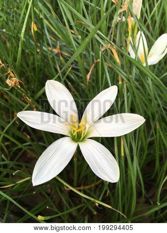close up white bud Jasminum Sambac flower in nature garden