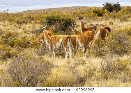 guanacos family patagonia argentina in summer six specimens