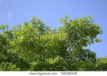 close up Terminalia ivorensis leaves in nature garden