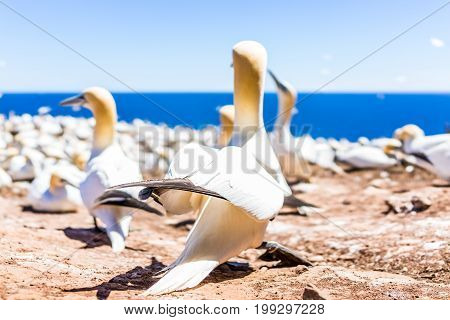 Closeup Of Curious White Gannet Bird Nesting With Blue Eyes On Bonaventure Island In Perce, Quebec,