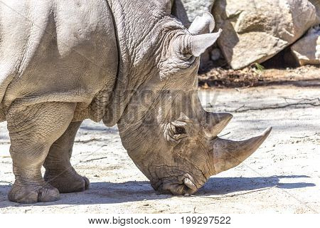 Close up of White Rhinoceros face eating