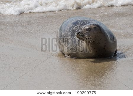 Seal Lays On Beach And Looks To Left