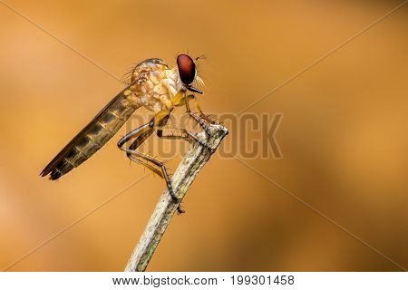 A robber fly resting on a dry branch in the morning. Selective focusing