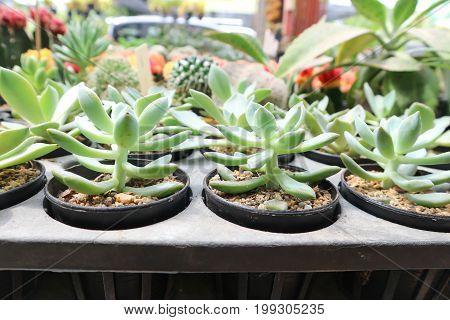 cactus in the flowerpot , cactus plant