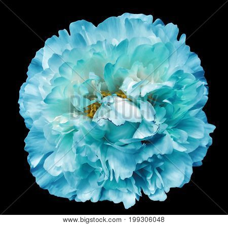 Peony flower turquoise on the black isolated background with clipping path. Nature. Closeup no shadows. Garden flower.