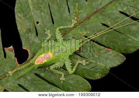 beautiful green color katydid nymph resting on green leaf