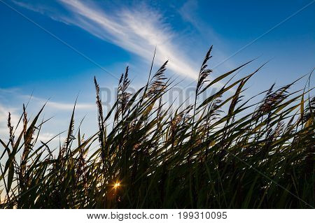 Long grass in silhouette on blue sky and sun rays