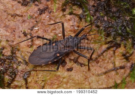 image of an assassin bug from the forest of Borneo