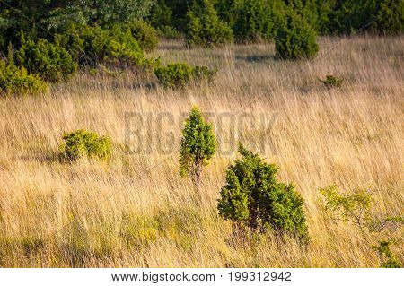 Meadow with yellow grass and green bushes