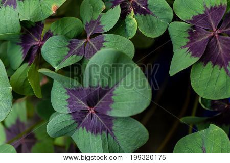 green cloverleafs in garden sign of luck
