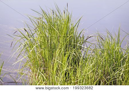Near the lake shore in water grow the rushes.