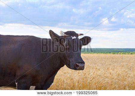 Cow grazing in a grain field. Closeup