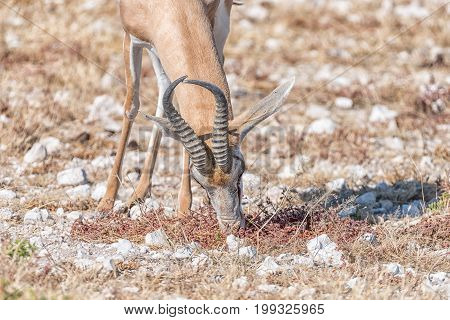 Close-up of a springbok Antidorcas marsupialis grazing in Northern Namibia