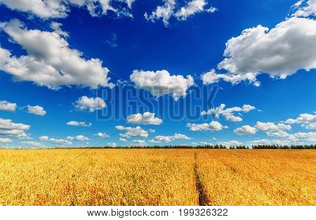 View of wheat ears field and blue cloudy sky