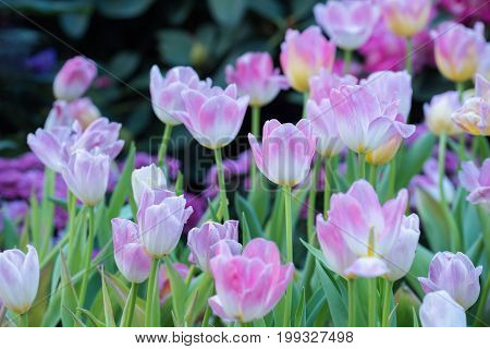 Pink tulips with beautiful bouquet background, Tulip, Beautiful bouquet of tulips, Colorful tulips, Tulips in spring, Colourful tulip with blurred background