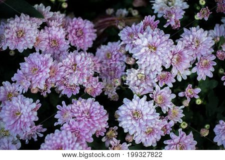 Sweet pink chrysanthemums blooming in garden, Close Up bouquet of pink autumn chrysanthemum