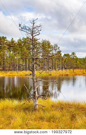 Alone pine tree near swamp lake, autumn season. Viru bogs at Lahemaa national park