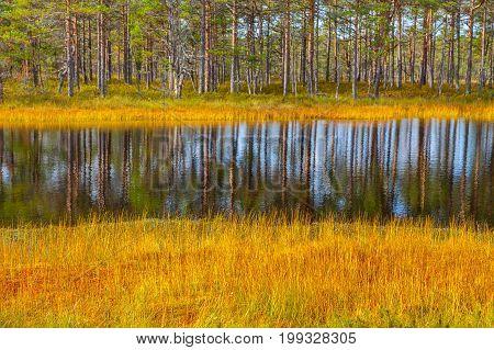 Beautiful reflection of pine trees in swamp lake, autumn season. Viru bogs at Lahemaa national park