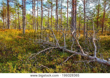Dead pine tree in forest Viru bogs at Lahemaa national park
