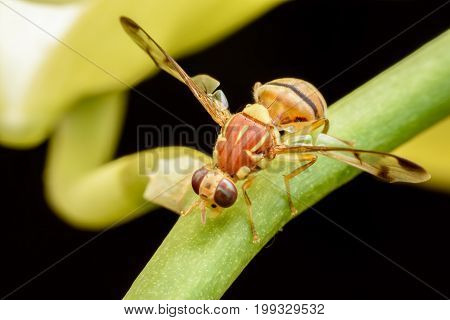 Close up Bactrocera Zonata or Peach fruit fly on branch