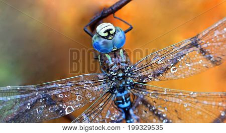 Dragonfly macro shot on yellow background .