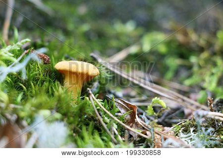 One chanterelle in green forest moss. Nature meal mushroom plants wallpaper
