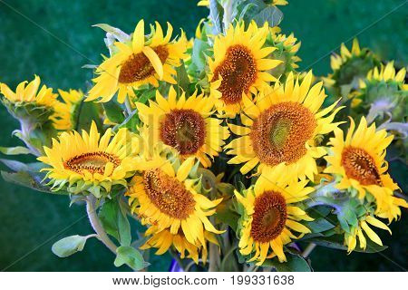 Sun flowers on the green background .