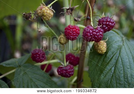 Ripe raspberries are growing in the garden